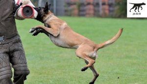 Chăm sóc và huấn luyện chó Malinois
