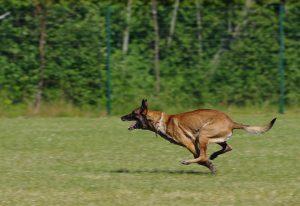 bệnh viêm phổi ở chó becgie bỉ (malinois)
