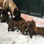 Trại chó Becgie Bỉ (Malinois) thuần chủng tại Hà Nội