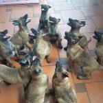 Chó Malinois Giá Bao Nhiêu Tiền – Mua Bán tại Hà Nội & TPHCM