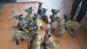 Tổng quan về dòng chó Malinois Becgie Bỉ