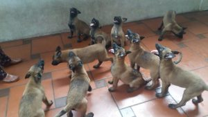 Giá chó Malinois - Becgie Bỉ