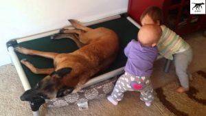 Chó Malinois rất thông minh và yêu chiều trẻ nhỏ