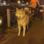 Phối Giống Chó Husky