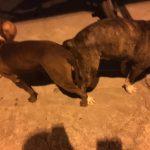 phối giống chó pitbull 2