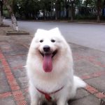 phối giống chó samoyed 3