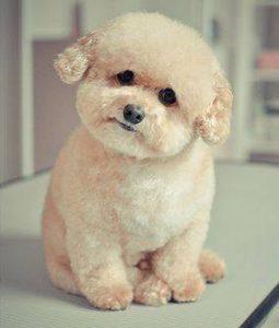 Chó Poodle kem