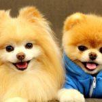 Cắt Tỉa lông chó mèo – Nhuộm Màu