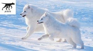 Chó samoyed nhập ngoại . là giống chó kéo xe xứ tuyết Alaska rất mạnh mẽ bền bỉ và trung thành