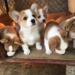 Mua Bán Chó Corgi Tại Hà Nội & TPHCM – Giá Chó Corgi