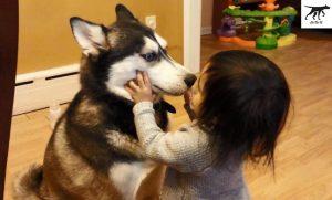 chó Husky chăm chỉ yêu mến và thân thiện với trẻ nhỏ