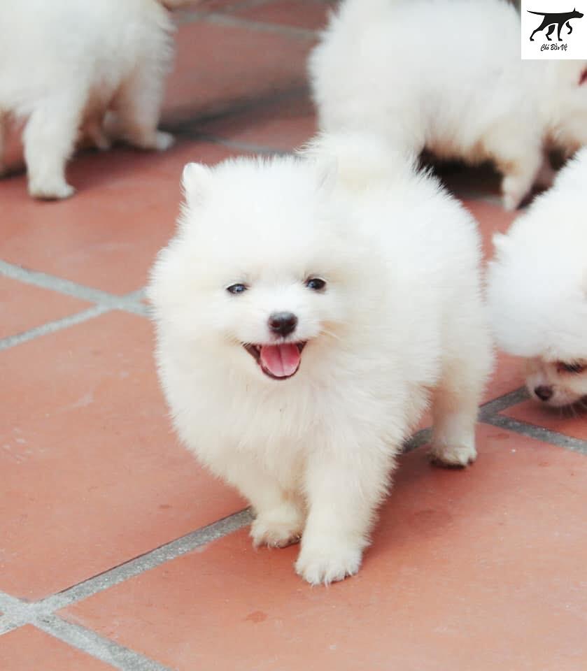 ở đâu mua bán chó phốc sóc tại Hải Phòng - Đà Nẵng - Nha Trang