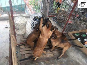 mua bán chó malinois 64 tỉnh thành