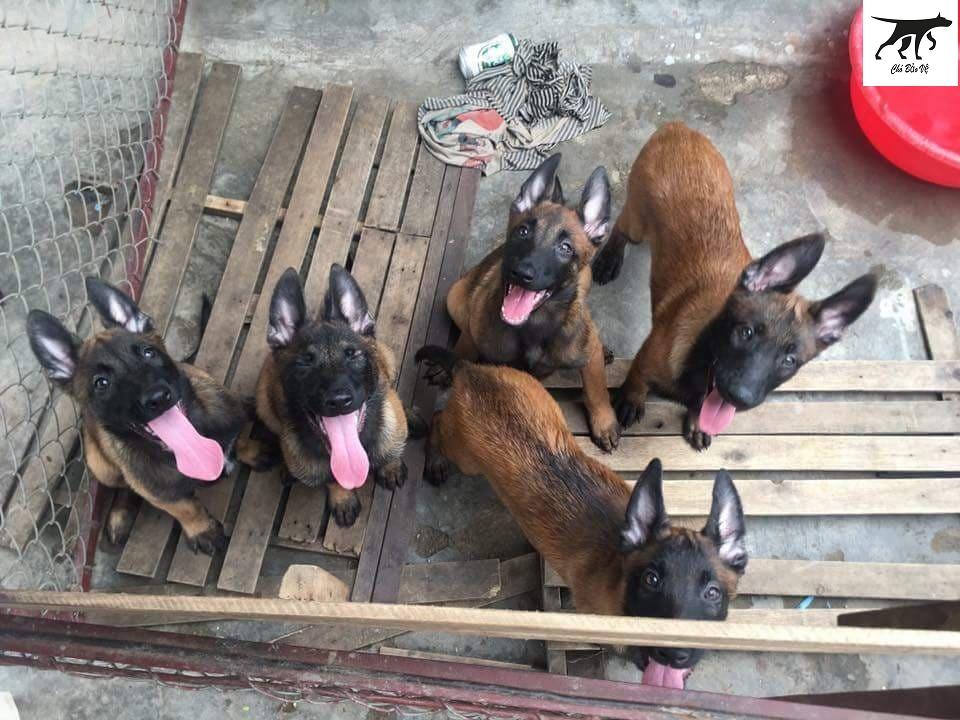 mua bán chó malinois - becgie bỉ - bec bỉ tại đà nẵng