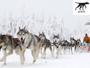 chó Husky được cho là có nguồn gốc từ Sibir