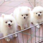 Shop chó Phốc Sóc – Trại Chó Phốc Sóc Tại TPHCM