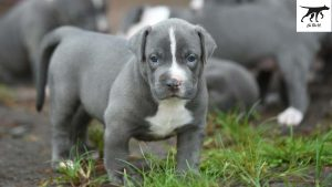 Chó pitbull và những yếu tố ảnh hưởng đến giá