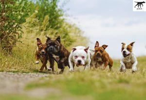 Giá chó Pitbull nhập ngoại