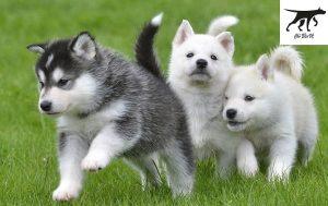 Ngoại hình và bộ lông của chó Husky