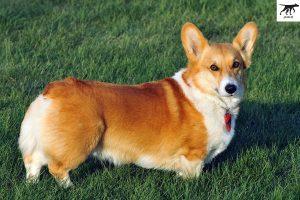 cách chăm sóc nuôi dưỡng chó Corgi PemBroken