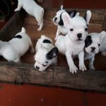 Chó Bull Pháp Giá Bao Nhiêu Tiền Mua Bán Tại Hà Nội & TPHCM & Đà Nẵng