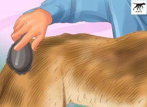chải lông cho chó malinois