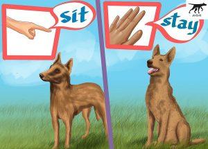 huấn luyện các lệnh cơ bản cho chó Malinois