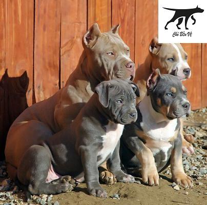 Giá chó Pitbull tính theo tháng