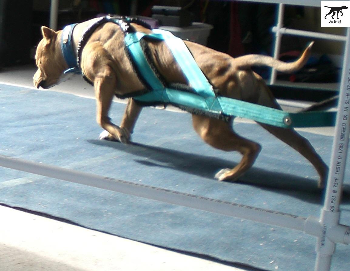 kinh nghiêm chăm sóc - cách nuôi chó pitbull