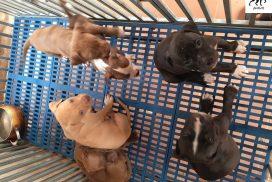 giá chó pitbull - mua bán chó pitbull tại Hà Nội & TPHCM