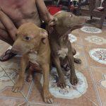 Chó Pitbull dòng đại – Chó Pitbull nặng bao nhiêu kg