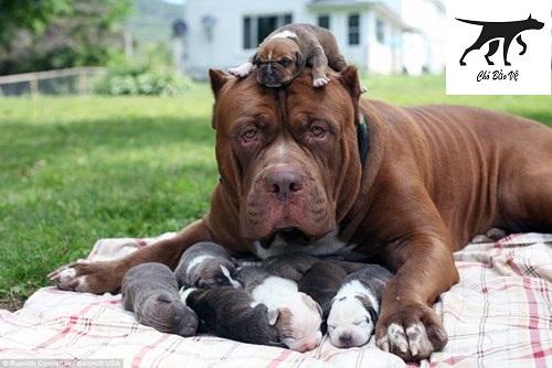 mua bán chó pitbull toàn quốc