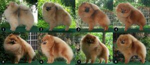 Các size của chó Phốc Sóc
