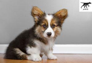 màu sắc của chó Corgi