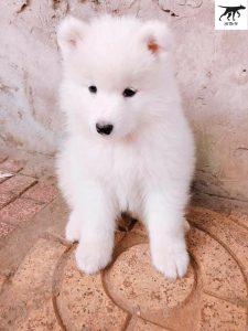 chó samoyed 2 tháng