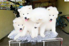 mua bán chó samoyed tại Hà Nội & TPHCM - Giá Chó Samoyed