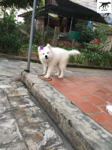 hình ảnh một bé chó samoyed cái 2 tháng tuổi