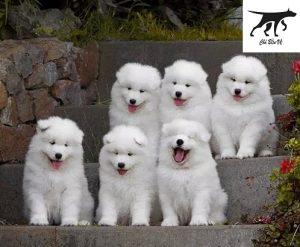 tìm hiểu kỹ về giống chó Samoyed bạn định nuôi
