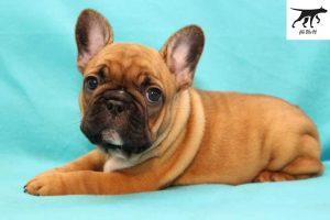 Chó Bull Pháp màu Red