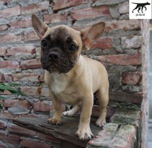 Chó Bull Pháp màu vàng Fawn