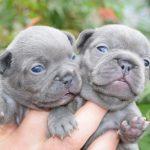 Các màu phổ biến của chó Bull Pháp – Bull Pháp nặng bao nhiêu kg