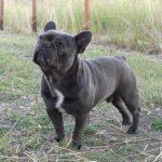 Chó Bull Pháp Màu Blue Giá Bao Nhiêu Tiền ?