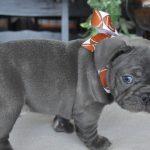 Chó Bull Pháp có đuôi không ?