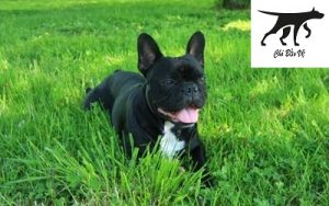 Chó Bull Pháp màu đen