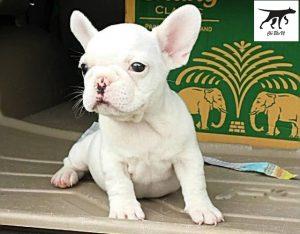 Chó Bull Pháp màu trắng
