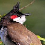 Các bệnh của chim chào mào quảng trị và cách chữa trị