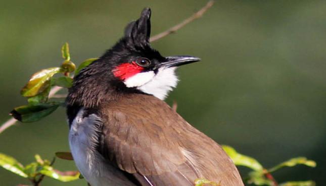 cách bệnh hay gặp ở chim chào mào quảng trị và cách chữa trị