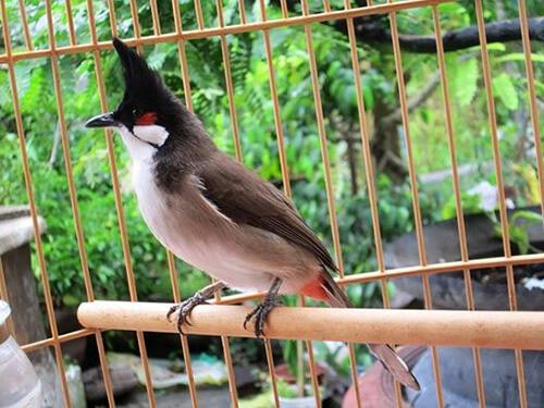 Cách chăm sóc chim chào mào quảng trị khi thay lông