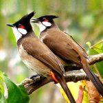 kỹ thuật nuôi chào mào quảng trị sinh sản – nhân giống chim chào mào