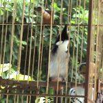 Chăm sóc chim Chào mào quảng trị như thế nào